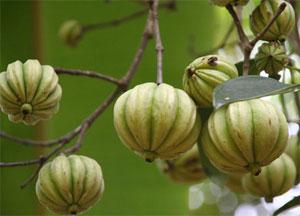 Garcinia Cambogia adelgazante